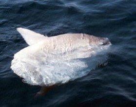 Mola mola • Poisson-lune